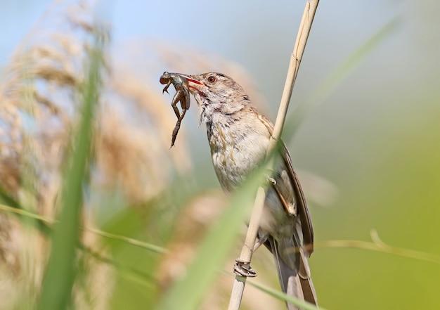 Zeldzame foto. grote karekiet vangt en houdt een kleine kikker in zijn bek.