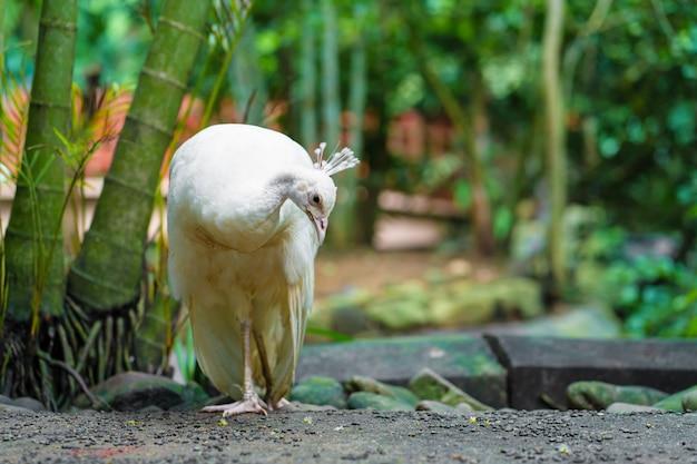 Zeldzame witte vrouwelijke albino pauw close-up.