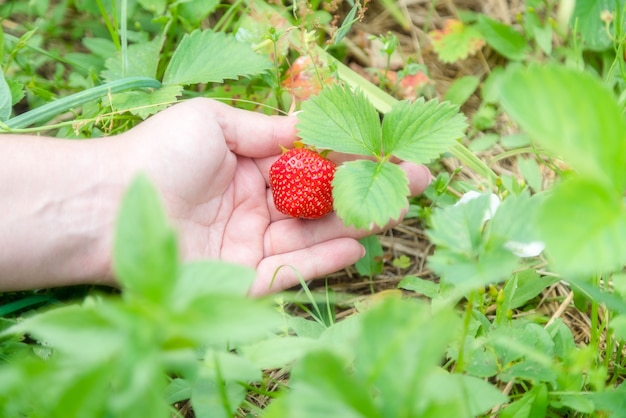Zelfgekweekte aardbei in tuin plukken