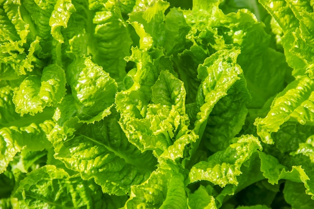 Zelfgemaakte biologische salade groeit in de tuin. selectieve aandacht.