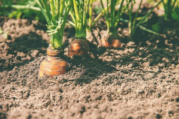 Zelfgemaakte biologische wortels groeien in de tuin. selectieve aandacht.