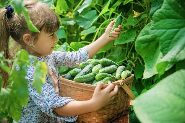Zelfgemaakte komkommerteelt en oogst in de handen van een kind.