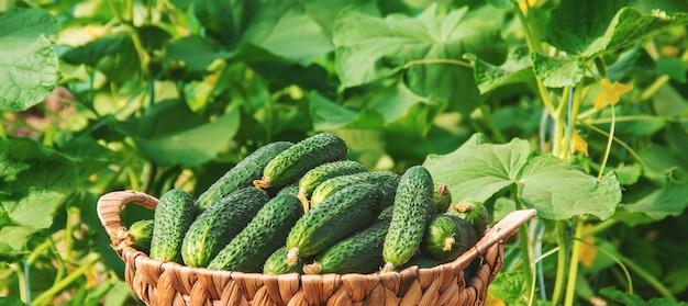 Zelfgemaakte komkommerteelt en oogst. selectieve aandacht.