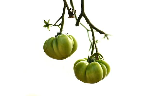 Zelfgemaakte tomaten groeien op een tak geïsoleerd op wit