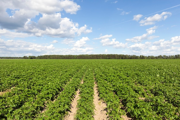 Zelfs rijen groene aardappeltoppen op een landbouwgebied tegen a van blauwe lucht en wolken