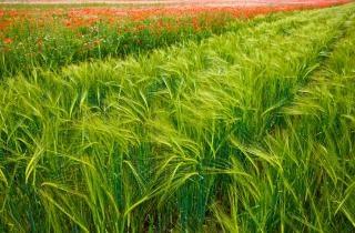 Zenn's maïsveld
