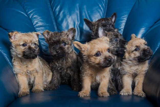 Zes cairn terrier-puppyhondenkennel op laag