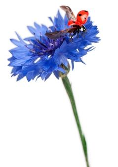 Zeven-spot lieveheersbeestje of zeven-spot lieveheersbeestje op een korenbloem - coccinella septempunctata