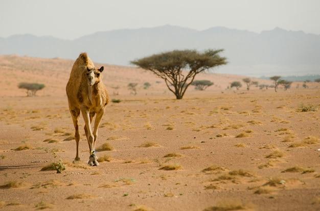 Zicht op een kameel die rustig door de woestijn zwierf