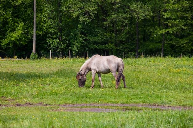 Zicht op tarpan, wilde paarden
