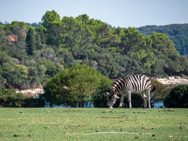 Zicht op zebra's die grazen op de grassen in een boerderij