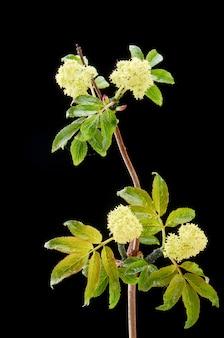 Zieke bloeiende plant rode vlierbes in het donker met druppels. de plant is bedekt met bladluizen.
