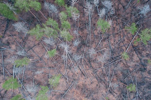 Zieke dennen in het bos. op de grond liggen veel stammen van omgevallen bomen.