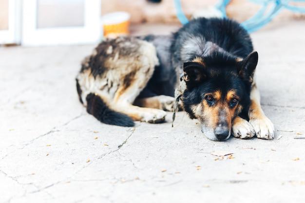 Zieke grote hond dermatitis en ziekte op de huid van honden