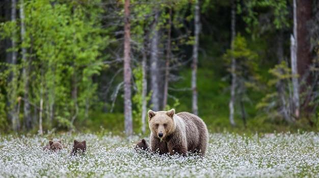 Zij-beer met een welp op een open plek tussen de witte bloemen in het bos