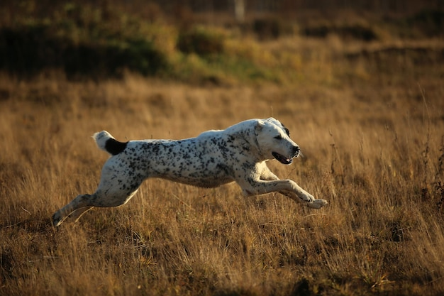 Zijaanzicht bij het rennen en glimlachen centraal-aziatische herdershond
