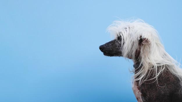 Zijaanzicht chinese kuifhond met exemplaar ruimteachtergrond