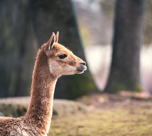 Zijaanzicht close-up shot van een lama met grote boomstammen