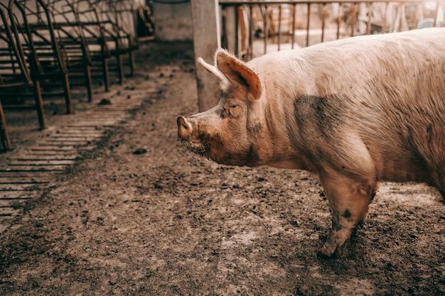Zijaanzicht dat van vuil varken zich in varkensstal in modder bevindt.