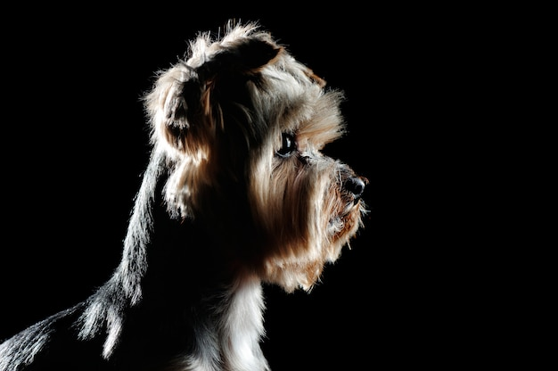 Zijaanzicht rustig hoofdportret van een yorkiehuisdier