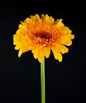 Zijaanzicht van de gele die bloem van kleurengerbera op zwarte achtergrond wordt geïsoleerd