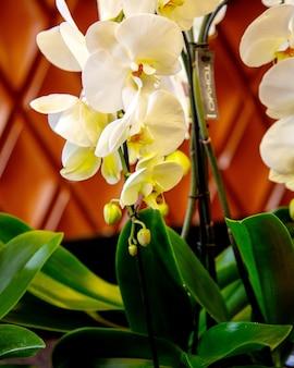 Zijaanzicht van de witte bloem van orchideephalaenopsis