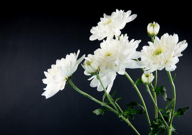 Zijaanzicht van de witte bloemen van de kleurenchrysant die op zwarte achtergrond worden geïsoleerd