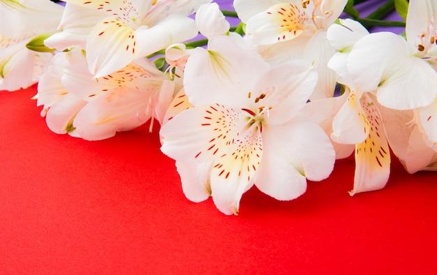 Zijaanzicht van de witte bloemen van kleurenalstroemeria op rode achtergrond
