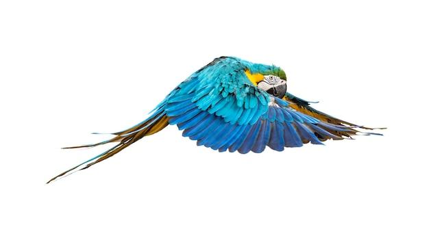 Zijaanzicht van een blauwgele ara, ara ararauna, vliegen, geïsoleerd