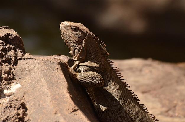 Zijaanzicht van een bruine leguaan op een rots.