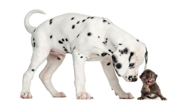 Zijaanzicht van een dalmatisch puppy dat een geïsoleerd katje mauwt snuift ,.