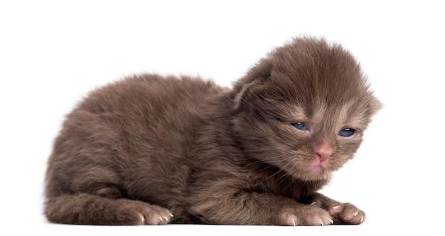 Zijaanzicht van een highland straight of fold kitten liggen, geïsoleerd op wit