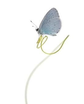 Zijaanzicht van een holly blue geland op een stengel van een plant, celastrina argiolus, geïsoleerd op wit