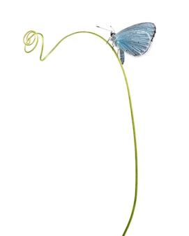 Zijaanzicht van een holly blue landde op een plantsteel, celastrina argiolus, geïsoleerd op wit