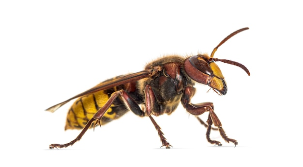 Zijaanzicht van een hornet, vespa crabro, geïsoleerd op wit