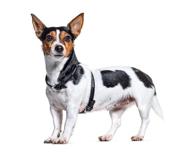 Zijaanzicht van een jack russell terrier die een harnas draagt, dat op wit wordt geïsoleerd