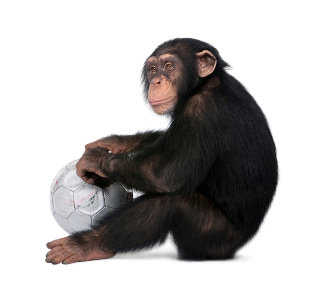 Zijaanzicht van een jonge chimpansee en zijn bal - simia holbewoners op een wit geïsoleerd, hij ziet eruit alsof hij mokken.