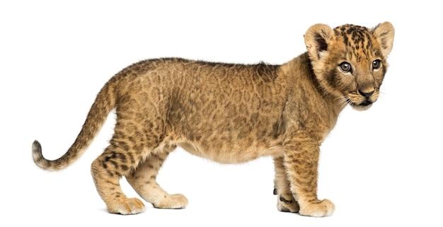 Zijaanzicht van een leeuwwelp staande geïsoleerd op wit