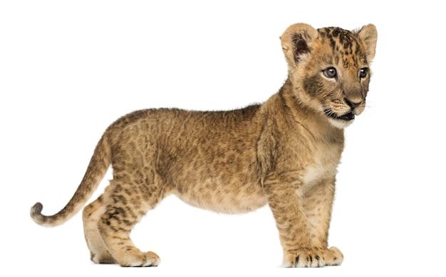 Zijaanzicht van een leeuwwelp staande wegkijken geïsoleerd op wit