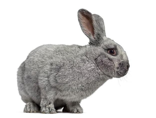 Zijaanzicht van een leuk konijn argente dat op wit wordt geïsoleerd