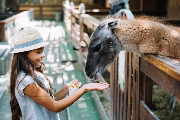 Zijaanzicht van een leuk meisjes voedend voedsel aan alpaca in het landbouwbedrijf