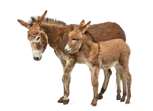 Zijaanzicht van een moeder provence ezel en haar veulen geïsoleerd op wit