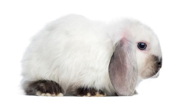 Zijaanzicht van een satijn mini snoeit konijn, geïsoleerd op wit