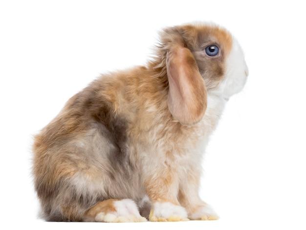 Zijaanzicht van een satijn mini snoeit konijnzitting, die op wit wordt geïsoleerd