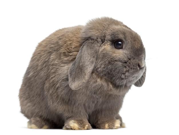 Zijaanzicht van een schattig holland snoeit konijn geïsoleerd op wit