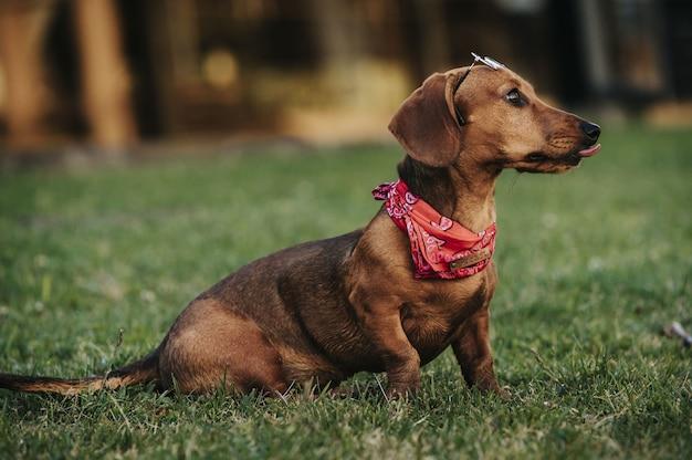 Zijaanzicht van een schattige bruine dwerg teckel met een stijlvolle sjaal om zijn nek die in een park speelt