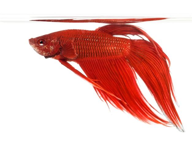 Zijaanzicht van een siamese het vechten vis, betta splendens, tegen witte ruimte