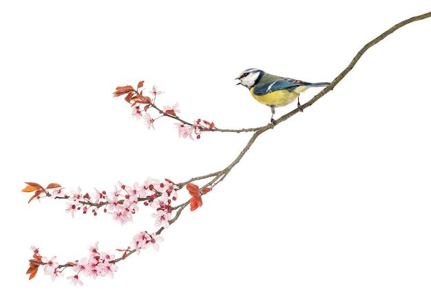 Zijaanzicht van een tweeting pimpelmees zitstokken op een bloeiende tak, cyanistes caeruleus, geïsoleerd op wit