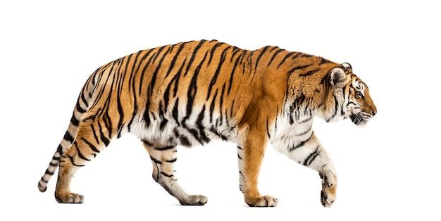 Zijaanzicht van een wandelende tijger, grote kat, geïsoleerd op wit