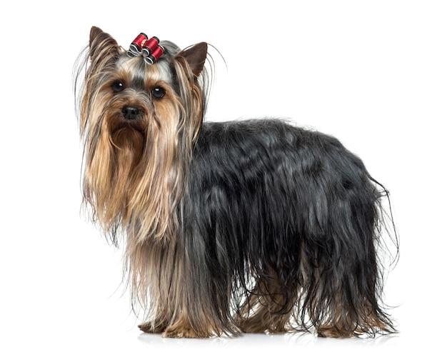 Zijaanzicht van een yorkshire terrier